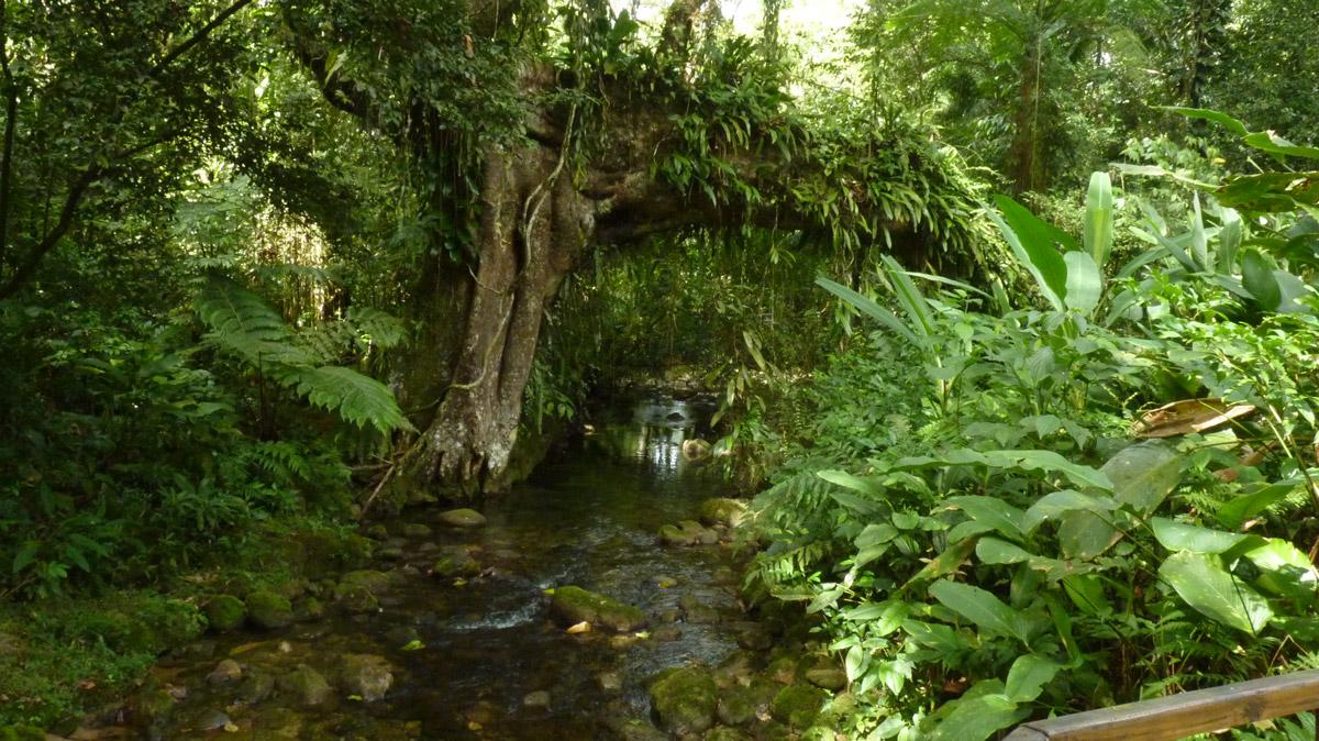 Figueira secular que lançou suas raízes sobre o rio e que dá nome a trilha.
